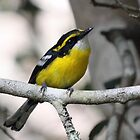 Yellow-Breasted Boatbill by triciaoshea