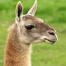 Young Guanaco by Franco De Luca Calce