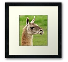 Young Guanaco Framed Print
