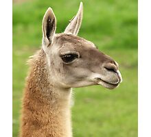 Young Guanaco Photographic Print