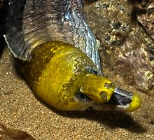 Undulated Moray Eel by Greg Amptman