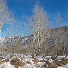 Winter Aspens by JVBurnett