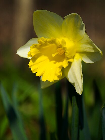 Daffodil by Jamie Kirschner