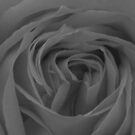 Rose in Black and White by Shaina Lunde