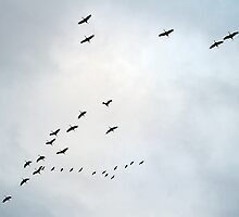 Cranes Flying 19 by rdshaw