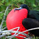 Male Great Frigate Bird: All Puffed Up! by Laurel Talabere