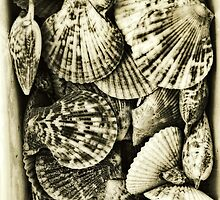 Vintage scallop shell collection in sepia by kitschstock