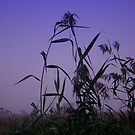 Reeds by beanphoto