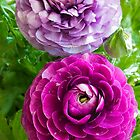 Persian Buttercup by BGSPhoto