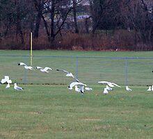 bird fence - seagulls at play by Dan Chang