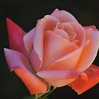 rosi rosa by jhawa