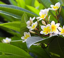 Golden White Native  Frangipani in Taiwan by Jeff Harris