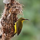 female_sunbird by col hellmuth