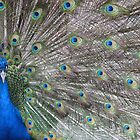 peacock by Rhona