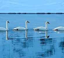 Trumpeter Swans by Virginia Maguire
