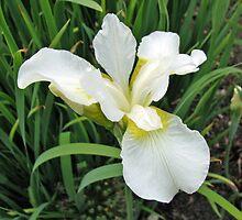 Beautiful White Iris by SunriseRose