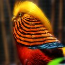 Golden Haired Pheasant by Selina Tour