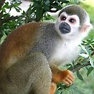 Squirrel Monkey by Laurel Talabere