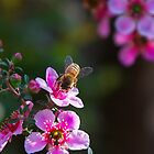 Bee in Yamba, New South Wales by groophics