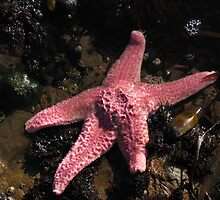 Pink Starfish by drknuth