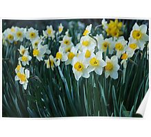White Daffodils in a row Poster