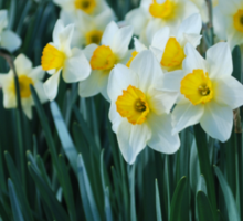 White Daffodils in a row Sticker
