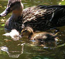 Mallard Ducks by Magnum1975