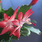 Christmas Cactus  by Stephen Thomas