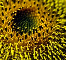 CLOSEUP SUNFLOWER by Gary Rayner