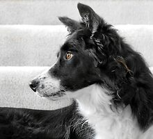 Scottish Border Collie by Christine Till  @    CT-Graphics