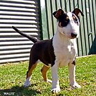 Mallee [Scarlettoro Black Widow] by dolbullbreeds