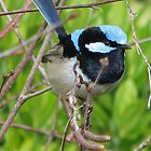 Mr Blue Wren by Denise Martin
