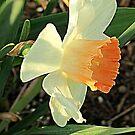 Spring Daffodil by kkphoto1