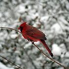 Cardinal in the snow by WalnutHill