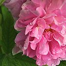 Wet Rose by Stephen Thomas