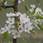 The Lyrics of Spring - Mexican Plum? by Navigator