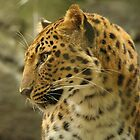 Amur Leopard by H & B Wildlife  Nature Photography
