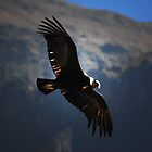 Condor in Colca Canyon, Peru by Monica Di Carlo