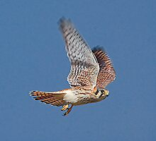 American Kestrel by Marvin Collins