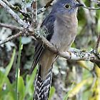 Fan-tailed Cuckoo by triciaoshea