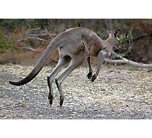 Eastern Grey Kangaroo Photographic Print