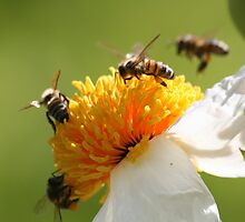Bees at work by Sue Jaeschke