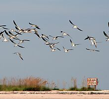 Skimmers In Flight by Karen  Moore