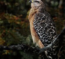 Red shouldederd hawk III by joemc