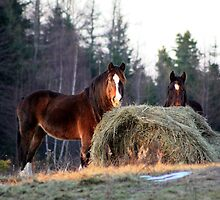 Horses At Dusk by HALIFAXPHOTO