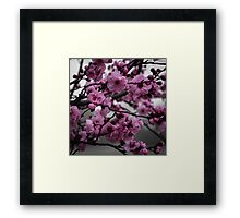 Cherry Blossom in Pink Framed Print