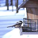 Chickadee @ Feeder by Stephen Thomas