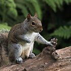 Baby Grey Squirrel by Franco De Luca Calce