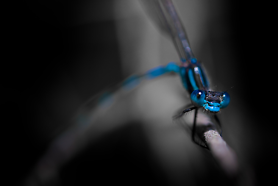 Blue eyes by Larrikin  Photography