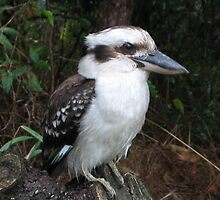 Kookaburra - Watchful Eye by janewiebenga
